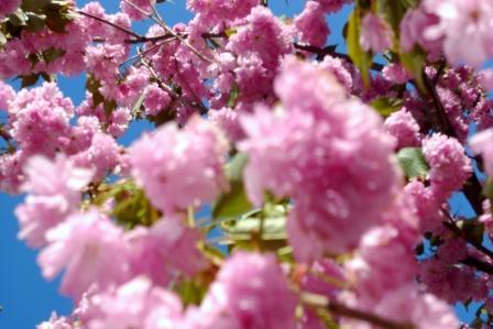 エゾ山桜★.JPG