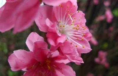 ハノイの桜?.JPG