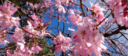桜-P1010260.JPG