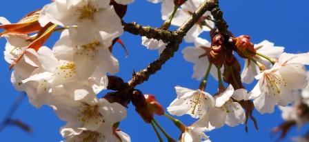 桜-P1010265.JPG