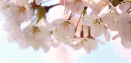 桜3★.jpg