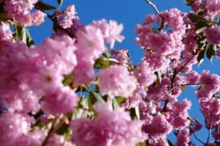 09の桜.JPG