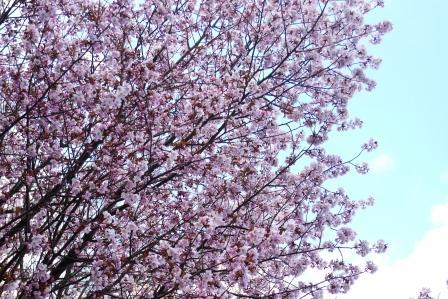 2010-札幌桜 002-WEB.jpg