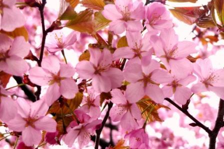 2010-札幌桜5-13 044.jpg