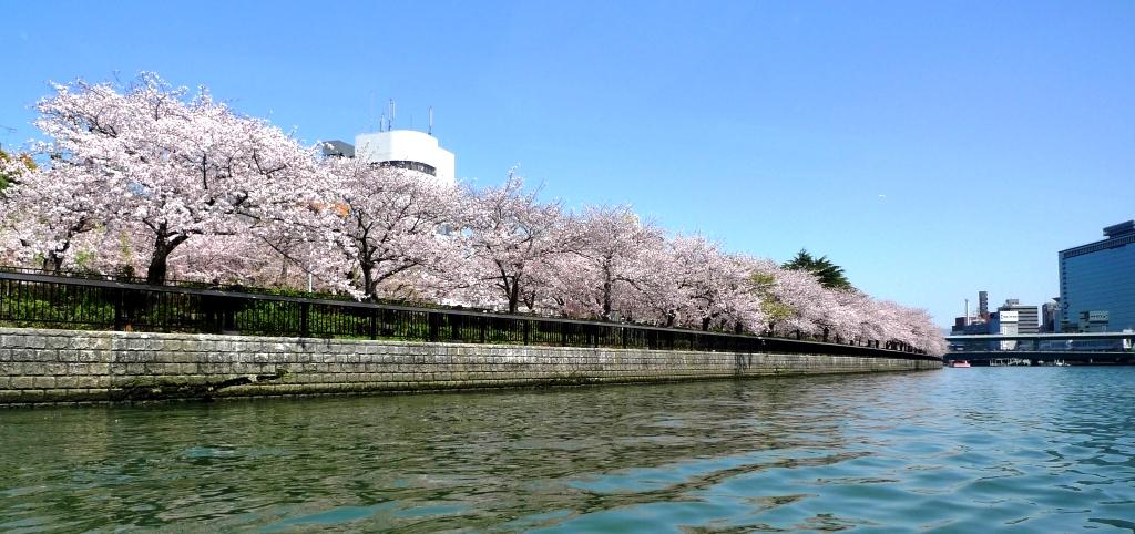 「 大阪桜」の画像検索結果