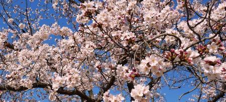 2011-4-桜.jpg