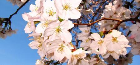 2011-4-桜2.jpg