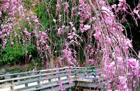 2011-4-桜3.jpg