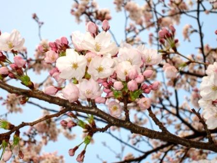 2011-4-大阪の桜.jpg