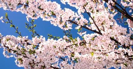 2011-5-北海桜 002-00.jpg