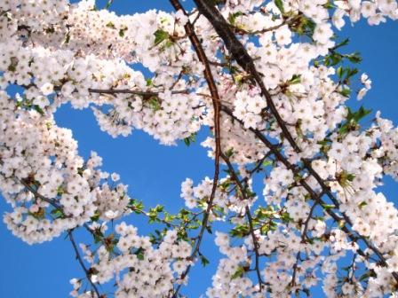 2011-5-北海桜 003.jpg