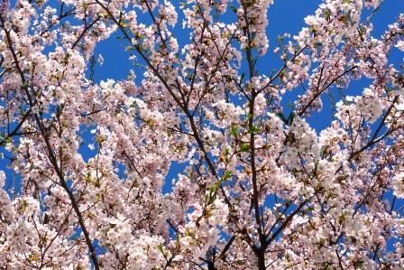 2011-5-北海桜 005.jpg