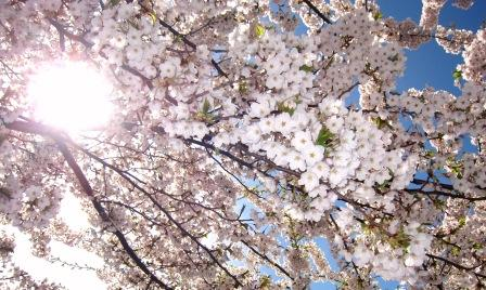 2011-5-北海桜 006.jpg
