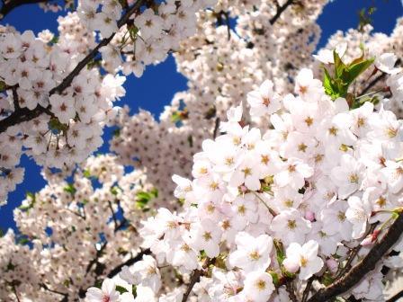 2011-5-北海桜 008.jpg